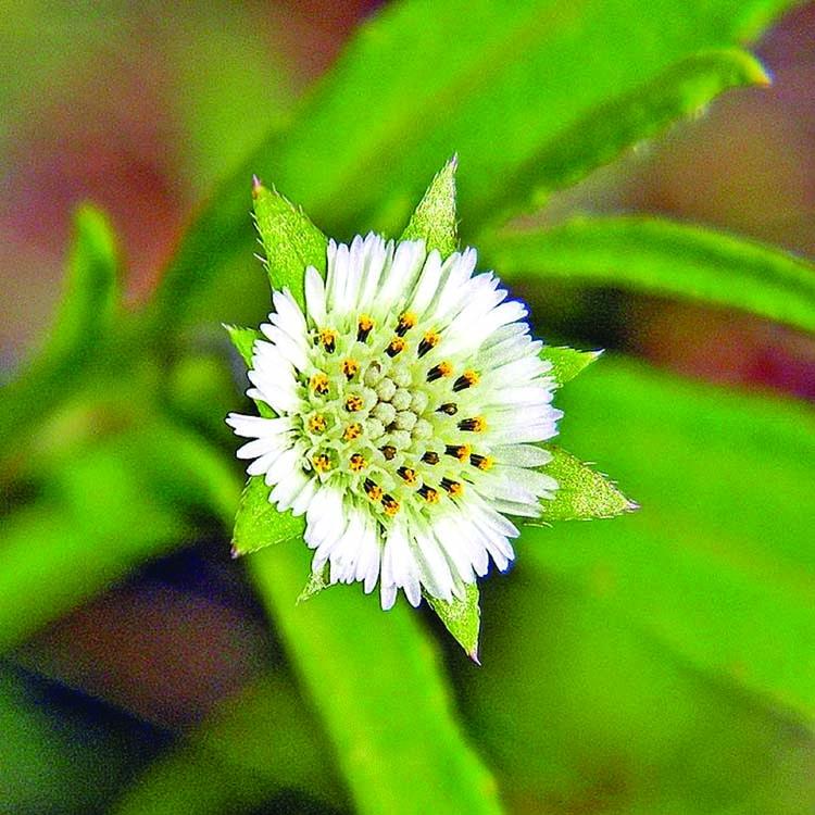 A medicinal herb