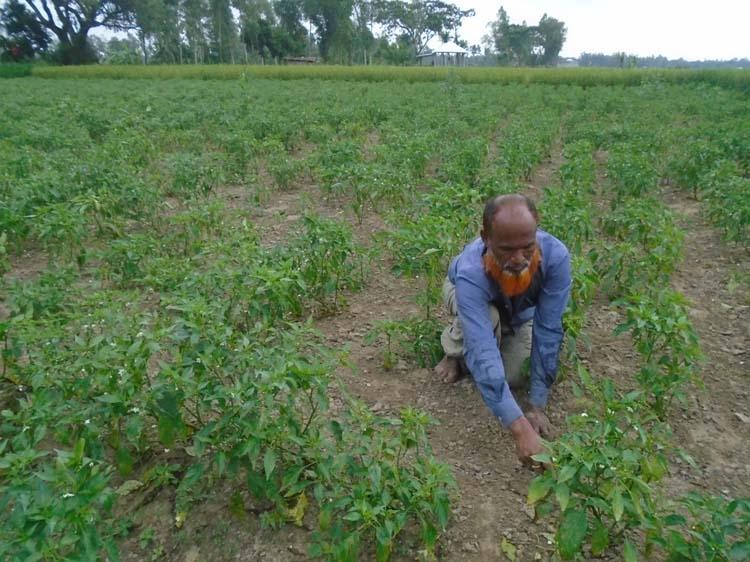 Growers turning to Hybrid chilli farming in Bogura