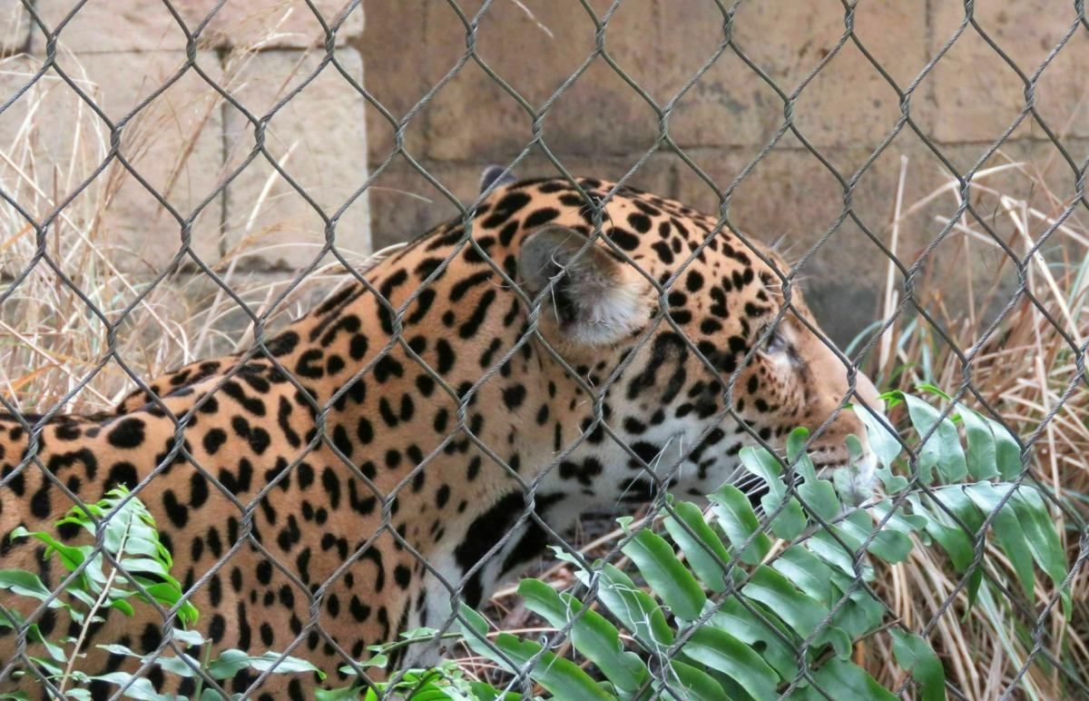 New Orleans zoo returns jaguar in strengthened exhibit