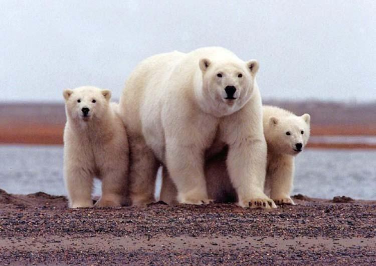 Seismic surveys of US Arctic refuge coastal plain delayed