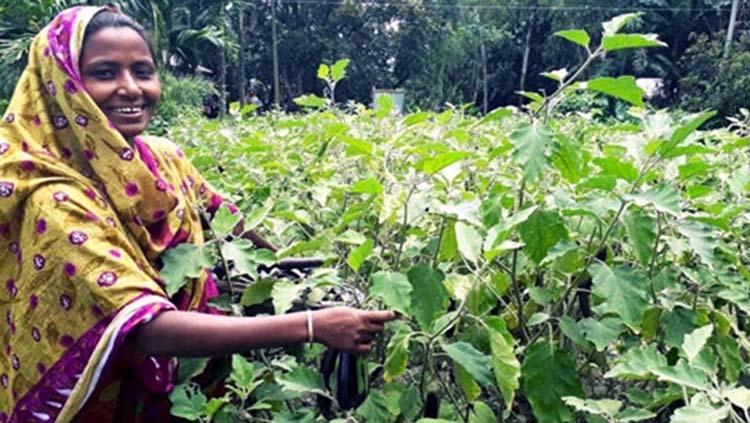 Pesticide-free brinjal brings fortune to Rangpur woman