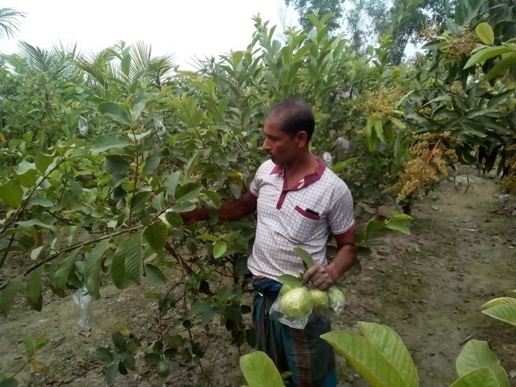 Bogura farmer sees hope in Thai Guava farming | The Asian