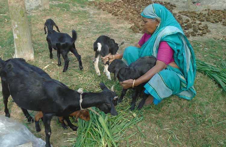 Goat rearing brings economic solvency in Bogura