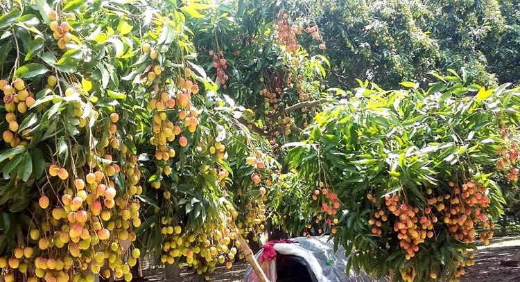 Most awaited seasonal fruit litchi is in Meherpur