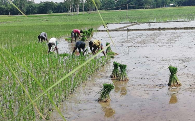 Aush cultivation regaining popularity in Manikganj chars