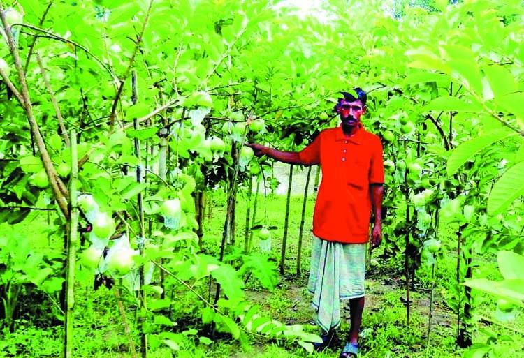 'Kazi Peyara' brings fortune to farmers in Narsingdi