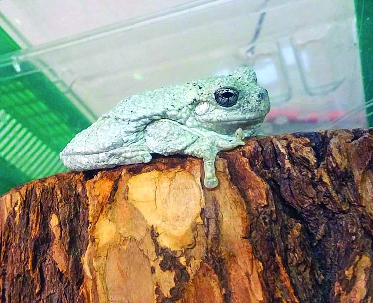 Tree frog from Georgia travels to Canada and back