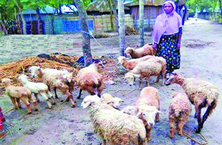 Sheep rearing changes fortune of women in Rangpur