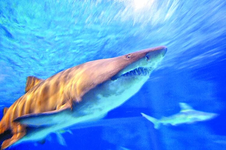 Mediterranean sharks at threat of 'disappearing'