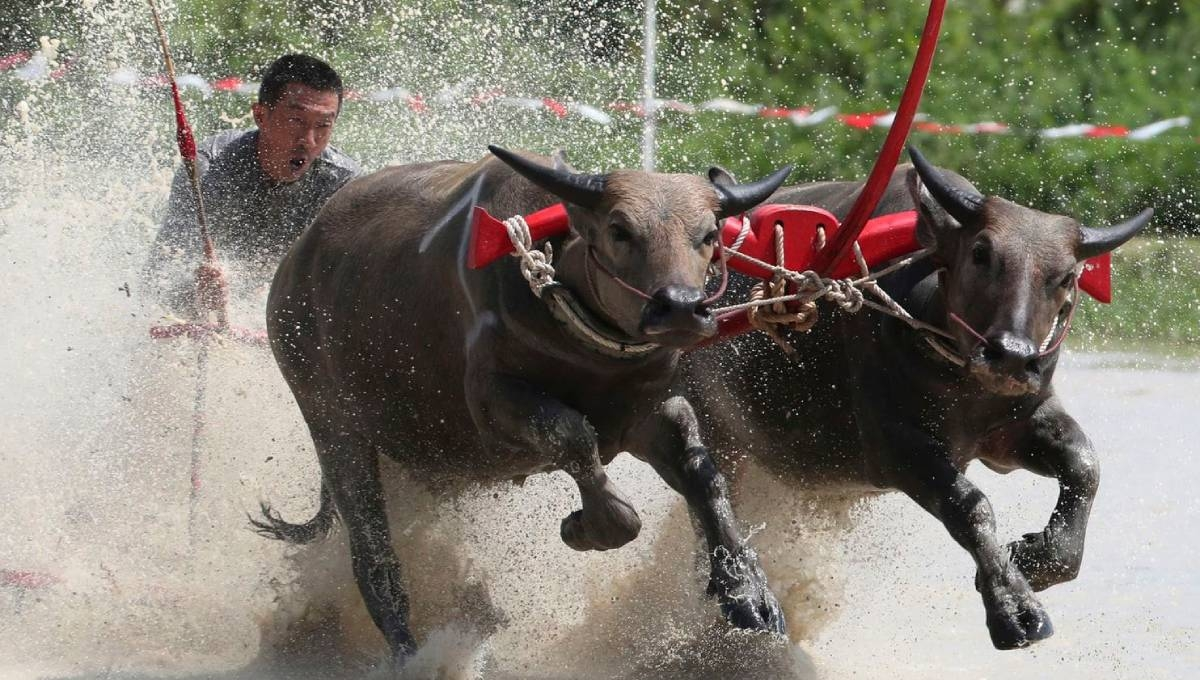 Thai farmers race their buffaloes in show of gratitude