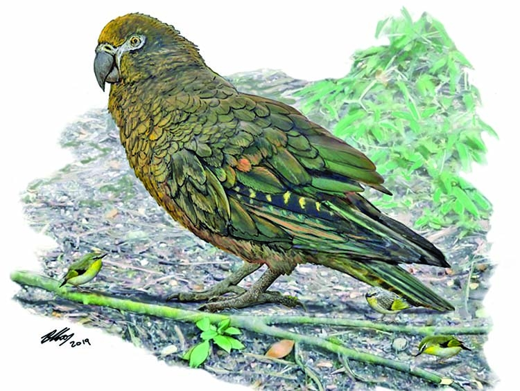 Evidence of 'Herculean' parrot found in NZ