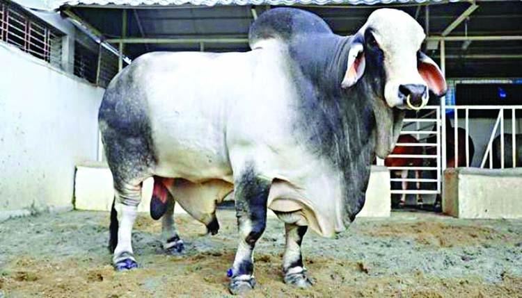 Mayor Atiqul's nephew makes record by buying cow