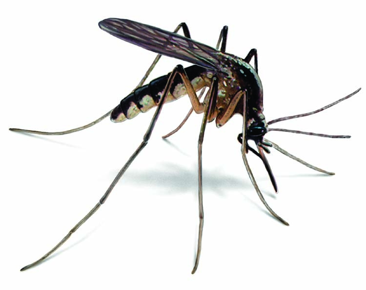 Mosquito: A source of pain throughout the ages