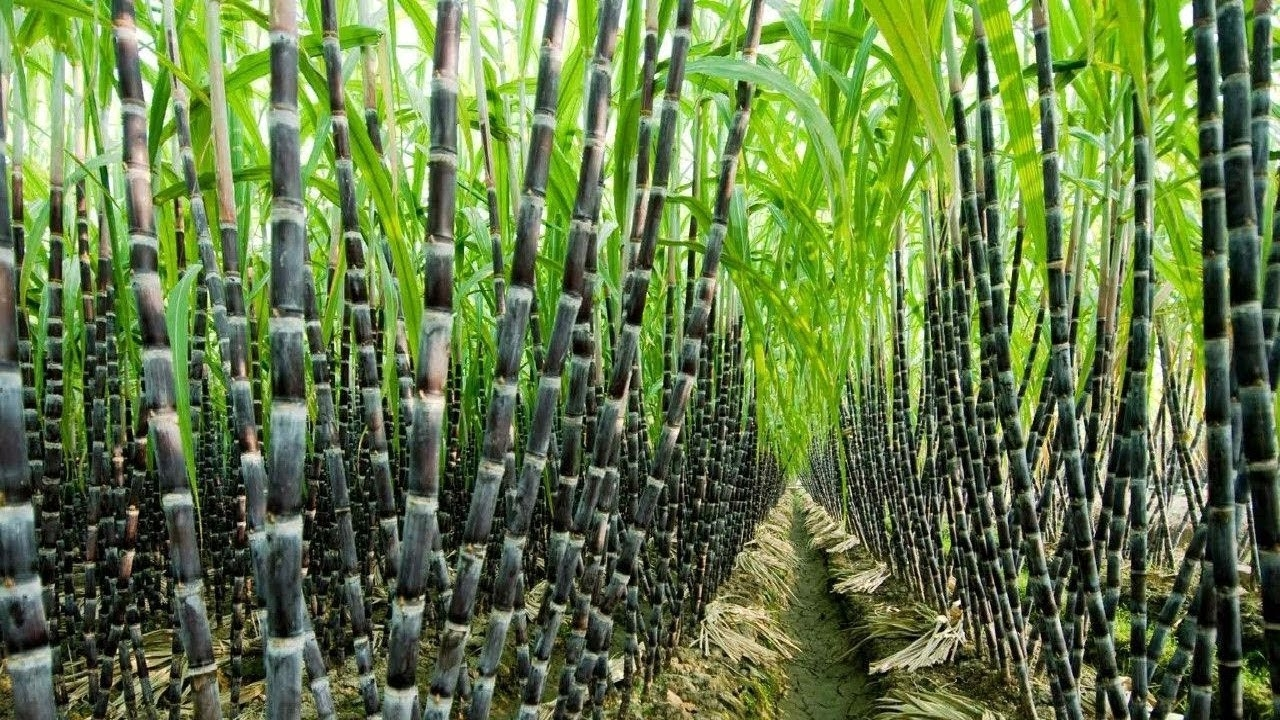 Increased focus to be on sugar crops; bill placed