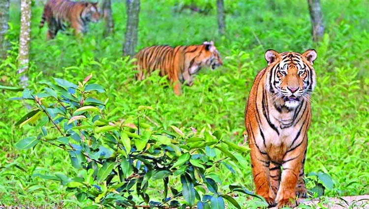 Drones to help monitor Sundarbans' tigers, deer