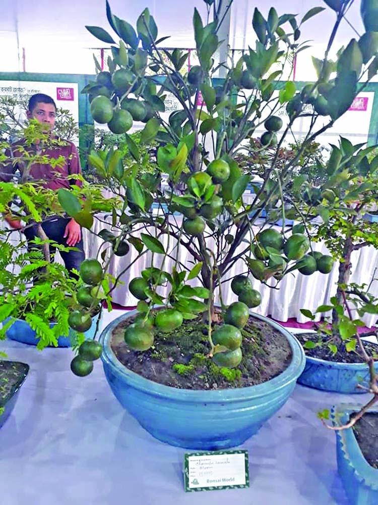 Bonsai exhibition begins