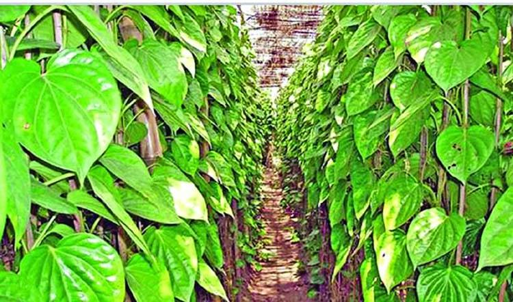 Betel leaf cultivation on rise in Khagrachari