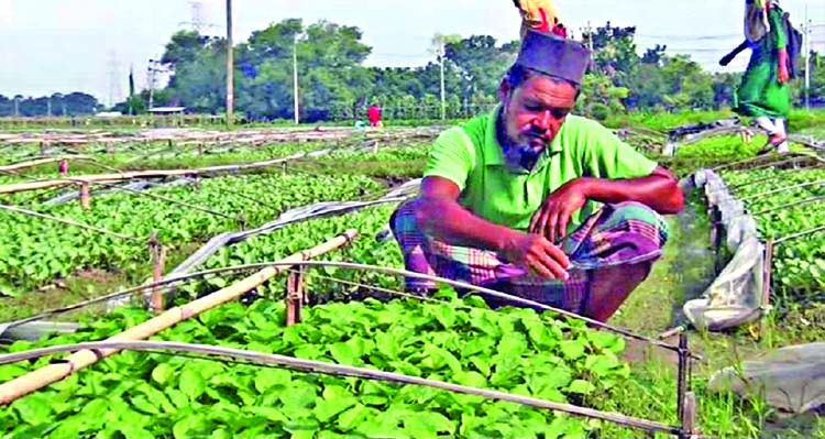 Cumilla vegetable seedling growers 'really in trouble'