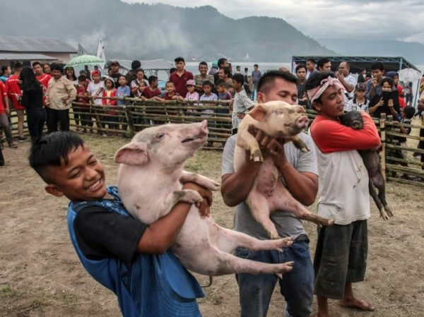 Despite push for 'halal tourism', Sumatra holds pig festival
