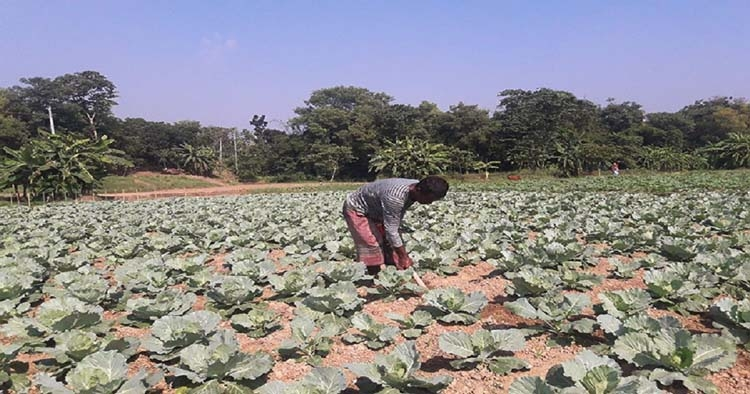 Vegetables on Gumti char bring fortunes to farmers
