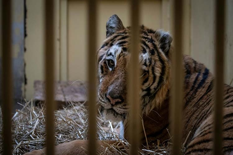 Rescued tigers leave Poland for Spain