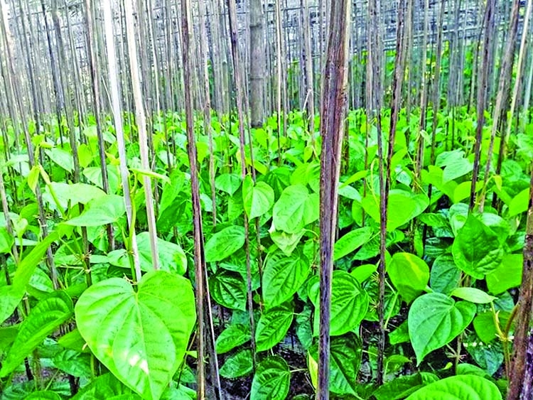 Activities of safe betel leaf production technology