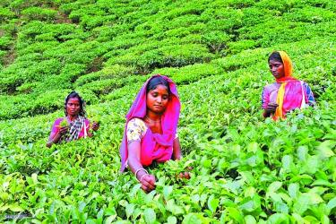 Plucking tea leaves changes fortune of 9,000 women