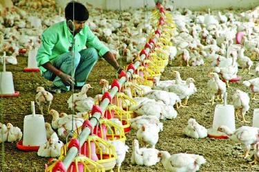 Tannery waste in poultry feed
