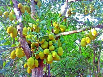 Amazing health benefits of jackfruit