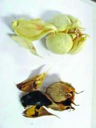 NSTU faculty introduced black Garlic in Bangladesh