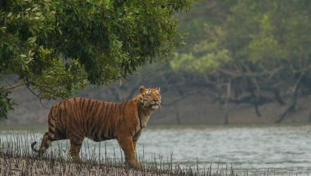 Climate change may destroy Sundarbans' tigers in 50-yr: Study
