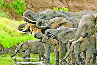 Elephants could be pet food in Botswana
