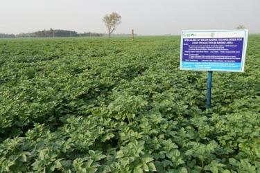Potato cultivators in Rajshahi are happy