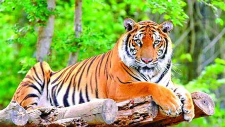 Sundarbans tiger population up