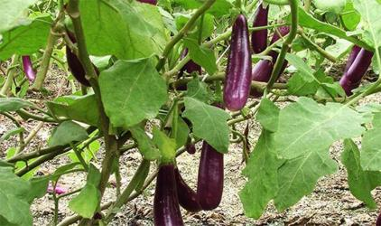 Production of 150,000 tones summer vegetables likely in Narsingdi